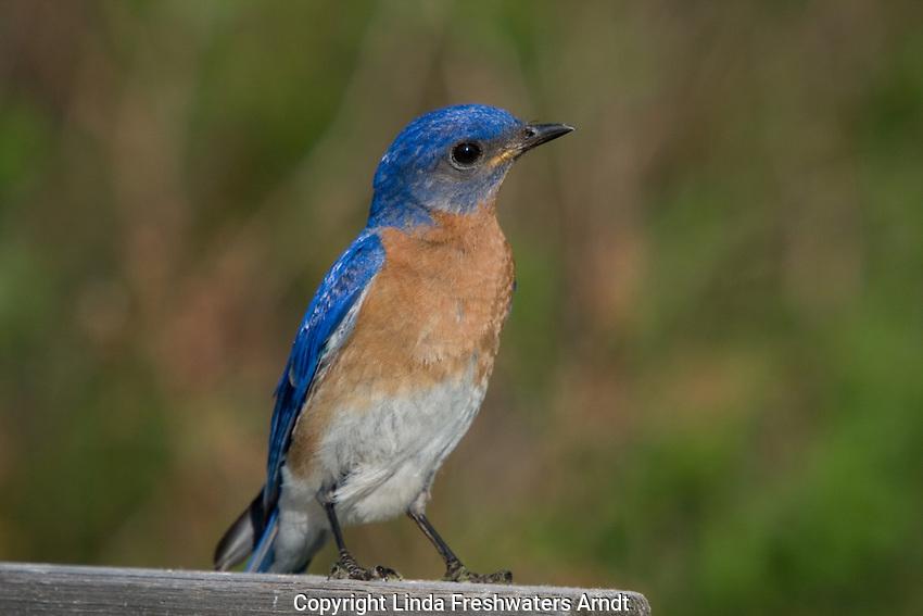 Male eastern bluebird perched on an enamel pot