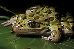 Northern Leopard frog, Rana pipiens, close up