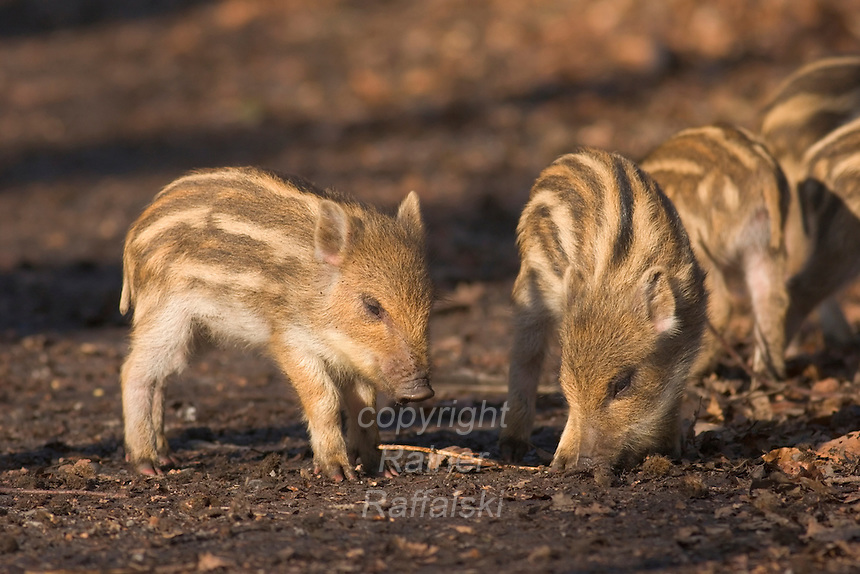 Germany, DEU, Arnsberg, 2005-Feb-07: Some young wild boars (sus scrofa), about two weeks old, exploring the ground in the Wildwald Vosswinkel preserve.