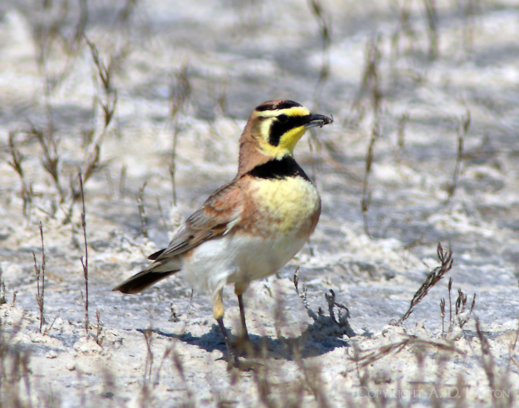 South Texas form horned lark with insect