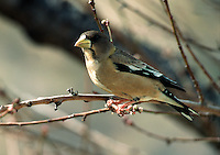 Evening Grosbeak - female (Coccothraustes vespertinus) Fringillidae. Arizona.