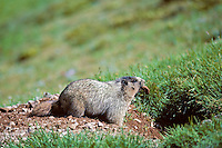 Hoary Marmot digging out den--removing rock.  Northern Rockies.  (Also see images # Mz92,93,99, 100,102.)