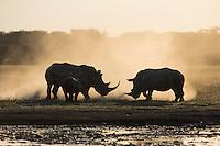 Two play fighting rhinoceroses.