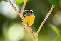 Bananaquit<br />