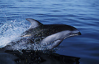 nb115. Pacific White-sided Dolphin (Lagenorhynchus obliquidens) leaping. British Columbia, Canada, Pacific Ocean..Photo Copyright © Brandon Cole.  All rights reserved worldwide.  www.brandoncole.com..This photo is NOT free. It is NOT in the public domain...Rights to reproduction of photograph granted only upon payment of invoice in full.  Any use whatsoever prior to such payment will be considered an infringement of copyright...Brandon Cole.Marine Photography.http://www.brandoncole.com.email: brandoncole@msn.com.4917 N. Boeing Rd..Spokane Valley, WA 99206   USA..tel: 509-535-3489