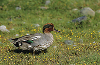 Krickente, Männchen, Erpel, Krick-Ente, Anas crecca, green-winged teal