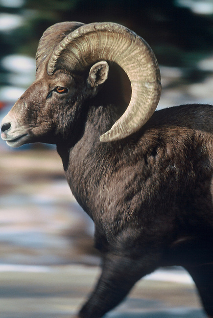 A Bighorn ram (Ovis canadensis), the Colorado state mammal, runs along the side of the road in the Big Thompson Canyon, near Estes Park, Colorado.