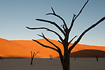 Ancient acacia in sunset light at Dead Vlei, Sossuvlei area, Namibia.