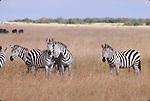 Common zebras in the Masai Mara National Park