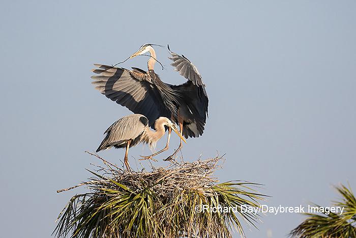 00684-05216 Great Blue Heron (Ardea herodias) male bringing stick to female at nest site.  Viera Wetlands Brevard County FL