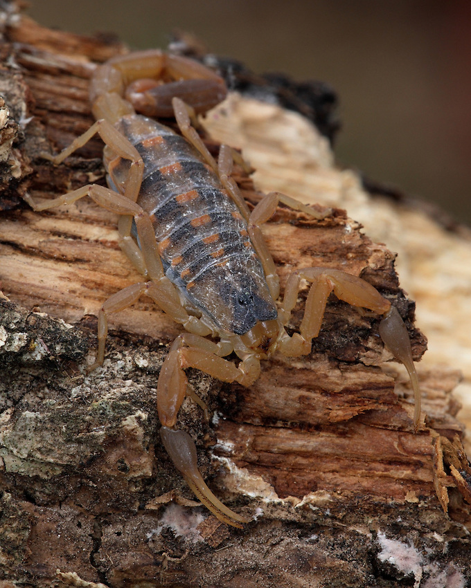 Live in the Texas Hill Country a while, and you'll probably experience the painful sting of the striped bark scorpion..