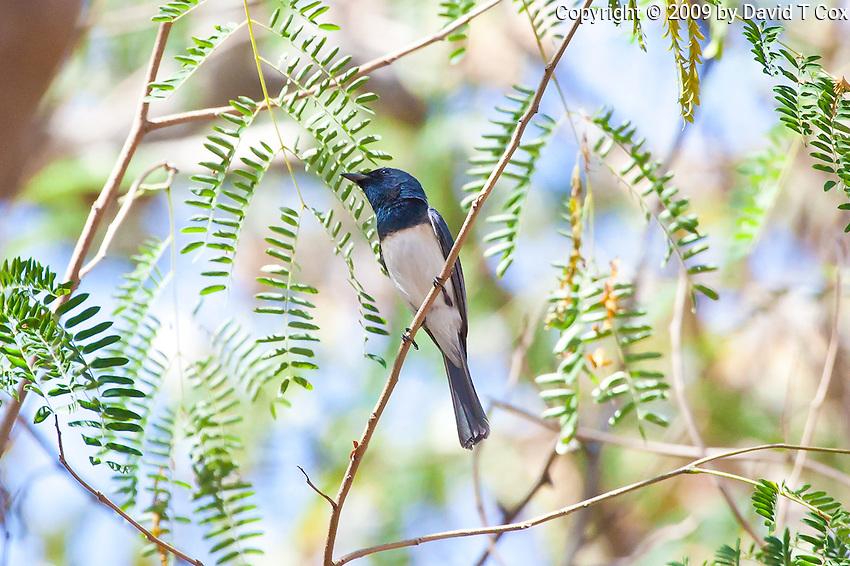 Leaden Flycatcher, Lee Point, Darwin, NT, Australia