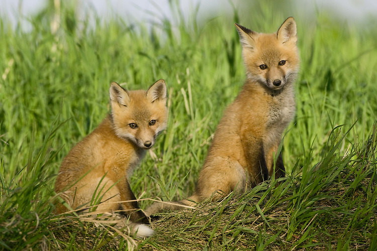 Pair of fox kits sitting on top of a hill