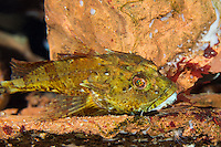 Seebull, Seebulle, Ulk, Langstacheliger Seeskorpion, Taurulus bubalis, Cottus bubalis, Myoxocephalus bubalis, long-spined sculpin, long-spined sea scorpion, longspined bullhead, Longspined sea-scorpion, Rock sculpin