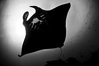 reef manta ray, Manta alfredi, Raja Ampat, West Papua, Indonesia, Indo-Pacific Ocean