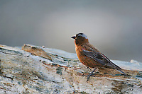 Gray-crowned Rosy-Finch,Leucosticte tephrocotis,male perched, Logan Pass, Glacier National Park, Montana, USA