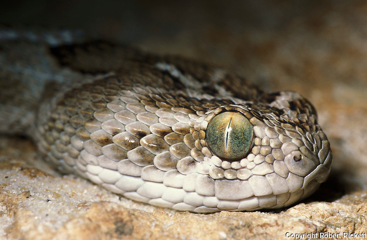 Saw-scaled Viper, Snake, Echis carinatus leakeyi, close up showing eyes and scales, may bury themselves leaving head exposed to strike rodents, lizards & frogs, found Somalia & S.Ethiopia, poisonous, venemous