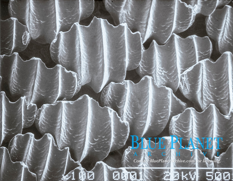 skin, scanning electron microscope view of dermal denticles or placoid scales of dusky shark, Carcharhinus obscurus