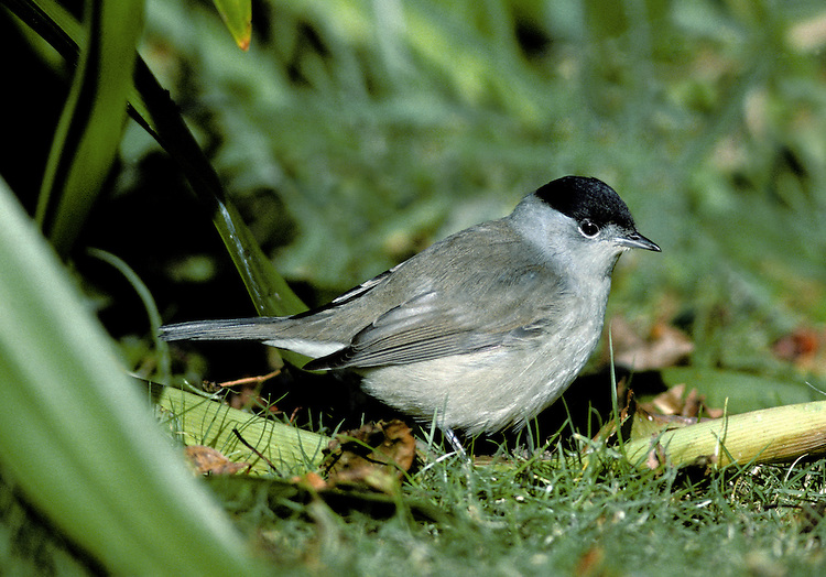 Blackcap Sylvia atricapilla L 14-15cm. Distinctive warbler with a musical song. Sexes are dissimilar. Adult male has grey-brown upperparts, dusky grey underparts, palest on throat and undertail, pale eyering and diagnostic black cap. Adult female and juveniles have grey-brown upperparts, pale buffish grey underparts (palest on throat and undertail) and reddish chestnut cap. Voice Utters a sharp tchek alarm call. Song is rich and musical warble; similar to Garden Warbler's but contains jaunty phrases. Status Common summer visitor to deciduous woodland with dense undergrowth, scrub and mature gardens. Migrants from N Europe pass through in autumn and some remain throughout winter.