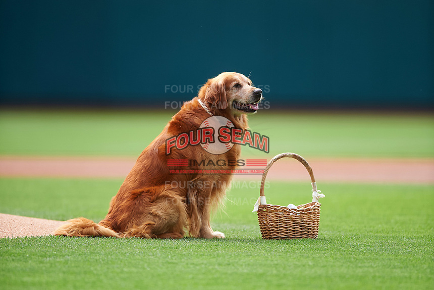 Jake the Diamond Dog delivers the game ball before a game between the Lehigh Valley IronPigs and Columbus Clippers on May 12, 2016 at Huntington Park in Columbus, Ohio.  Lehigh Valley defeated Columbus 2-1.  (Mike Janes/Four Seam Images)