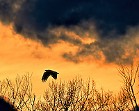 A young bald eagle flies to its nighttime roost on a cold January evening.  Summit County, Utah.