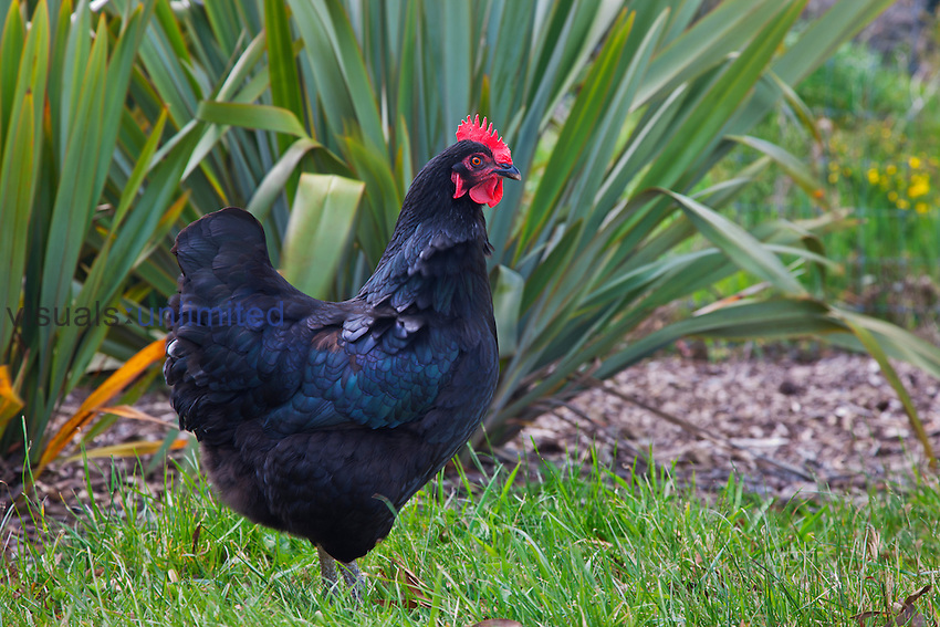 Black domestic Chicken rooster (Gallus gallus)