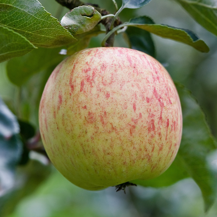 Apple 'Duchess of Oldenburg', early September. A Russian dual-purpose culinary-dessert apple dating back to the early 18th century, when it was known as 'Borovinka'.