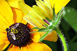 A syrphid fly collects nectar while pollinating a rudbeckia flower at The Gardeners of America/Men's Garden Clubs of America national headquarters garden in Johnston, Iowa.