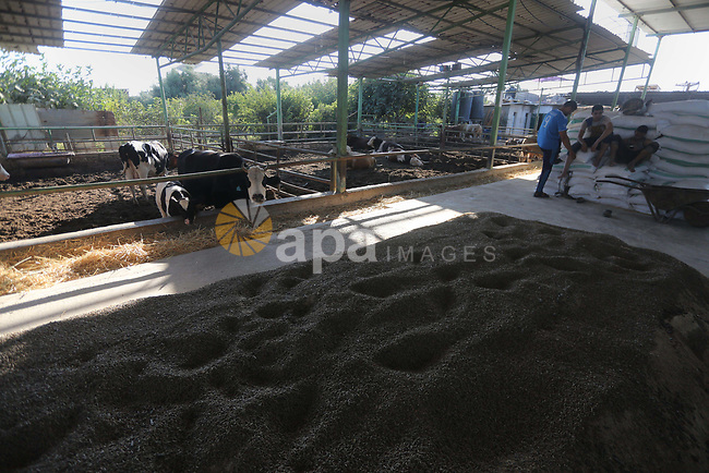 Palestinians feed their sheep's which were purchased in the market before the holiday of Eid al-Adha, at a farm in Gaza City on August 24, 2017. Muslims worldwide are celebrating Eid al-Adha, or Feast of the Sacrifice, commemorating God's provision of a ram to substitute for Abraham's impending sacrifice of his son, where able Muslims offer either a goat, sheep, cow, buffalo, or camel during the feast rituals. Photo by Mohammed Asad