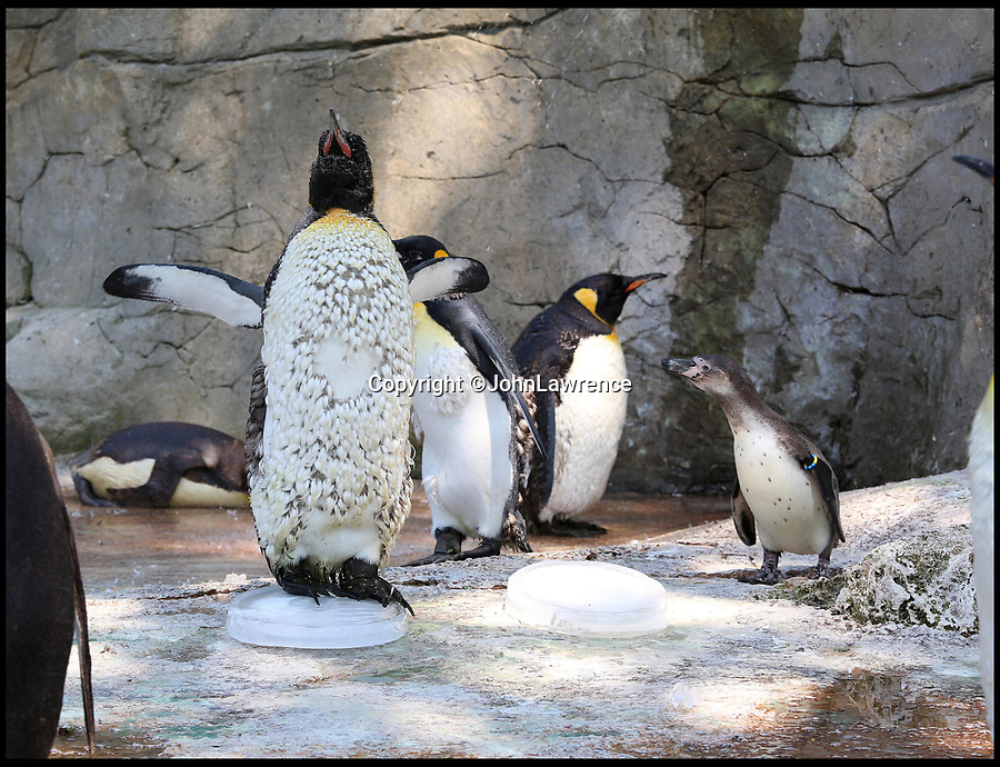 BNPS.co.uk (01202 558833)<br /> Pic: JohnLawrence/Birdland/BNPS<br /> <br /> Something to shout about...<br /> <br /> Birdland penguins get n-ice treat for their happy feet.<br /> <br /> A colony of king penguins have been given giant ice blocks to help them chill out during the hot weather.<br /> <br /> With temperatures pushing 30 degrees, the penguins - who are most comfortable in arctic conditions - have been struggling to cope. <br /> <br /> So staff at wildlife attraction Birdland in Bourton-on-the-Water, Gloucestershire, froze tubs of water to recreate miniature icebergs for the flightless birds.<br /> <br /> They have also installed a series of water sprinklers around their enclosure to allow them to cool down.<br /> <br /> Birdland, which celebrates its 60th anniversary this year, looks after the UK's only breeding colony of king penguins - the second largest specimen of penguins in the world who weigh up to 40lb.