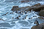 Manchot du cap.jackass penguin.colonie de betty's bay a 20 km du cap...The Bettys Bay penguin colony, situated at Stony Point, is one of 2 mainland-based penguin colonies (historically penguins only nested on islands, to keep away from predators), the other being at Simonstown