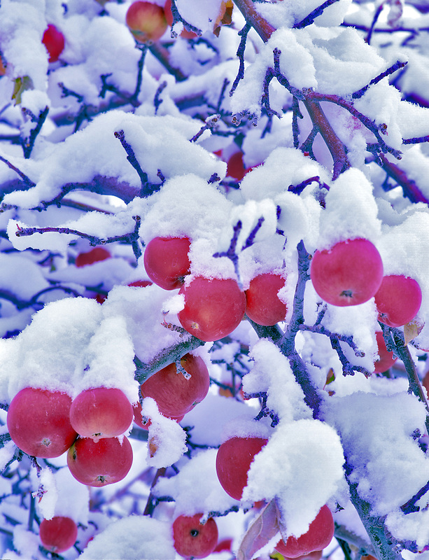 Close up of red apples with snow. Summer Lake Inn, Oregon.