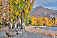 lake wanaka, autumn trees, poplar trees, yellow, lake, central otago, new zealand