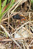 Zweifarbige Schneckenhaus-Mauerbiene, Zweifarbige Schneckenhausbiene, Zweifarbige Mauerbiene, an Schneckengehäuse, Schneckenhaus, Osmia bicolor, Mauerbienen, Mason bee, Mason bees