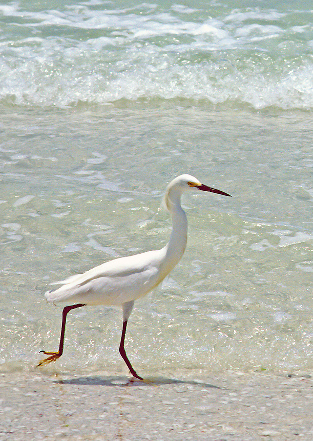 Snowy egret on beach, Florida