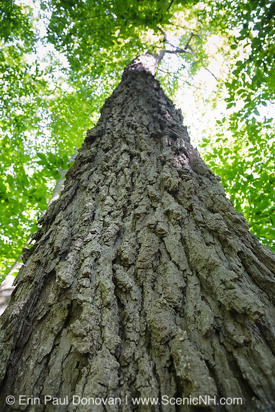 Old sugar maple tree in a northern hardwood forest along the Saco River Trail in Crawford Notch State Park of the New Hampshire White Mountains during the summer months.