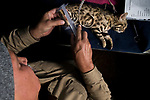 Black-footed Cat (Felis nigripes) biologist, Alex Sliwa, measuring foot length of female during collaring, Benfontein Nature Reserve, South Africa