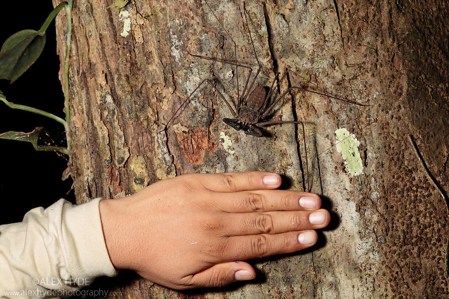 Tailless Whipscorpion  (Heterophrynus elephas) hunting invertebrate prey at night on tree butress root.  Hand included for scale. Manu Biosphere Reserve, Peru. November.