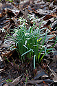 Common snowdrop (Galanthus nivalis), late February.