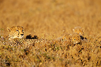 Cheetah mother with young ( Acinonyx Jubatus) Africa
