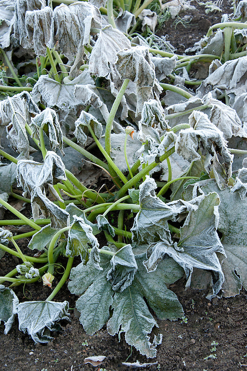 Autumn hoar frost on end-of-season courgette plants, late October.