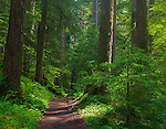 Olympic National Park, Washington<br /> Sun dappled trail leads through old growth trees in the temperate rainforest of the Sol Duc Valley