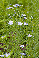Gemeiner Lein, Flachs, Saat-Lein, Saatlein, Linum usitatissimum, common flax, linseed