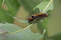 Schwan, Raupe frisst an Salweide, Euproctis similis, Porthesia similis, Sphrageidus similis, yellow-tail, gold-tail, Goldtail Moth, Swan Moth, caterpillar, le Cul doré, le Cul-doré, La chenille, Trägspinner, Lymantriidae, Schadspinner, Wollspinner, Lymantriinae