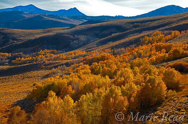 View from Conway Summit, looking southwest, with aspens in autumn, Mono Lake Basin, California, USA