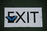 "Scottsdale, Arizona. A Blue Morpho Butterfly at an Arizona sanctuary rests on an ""Exit"" sign. The United States Fish and Wildlife Service is contributing $20 million to help save the disappearing Monarch butterflies. The insect may be on its way to the endangered species list. In Arizona a sanctuary takes care of thousands of butterflies. Photo by Eduardo Barraza © 2015"