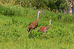 Sandhill cranes in a northern Wisconsin field.