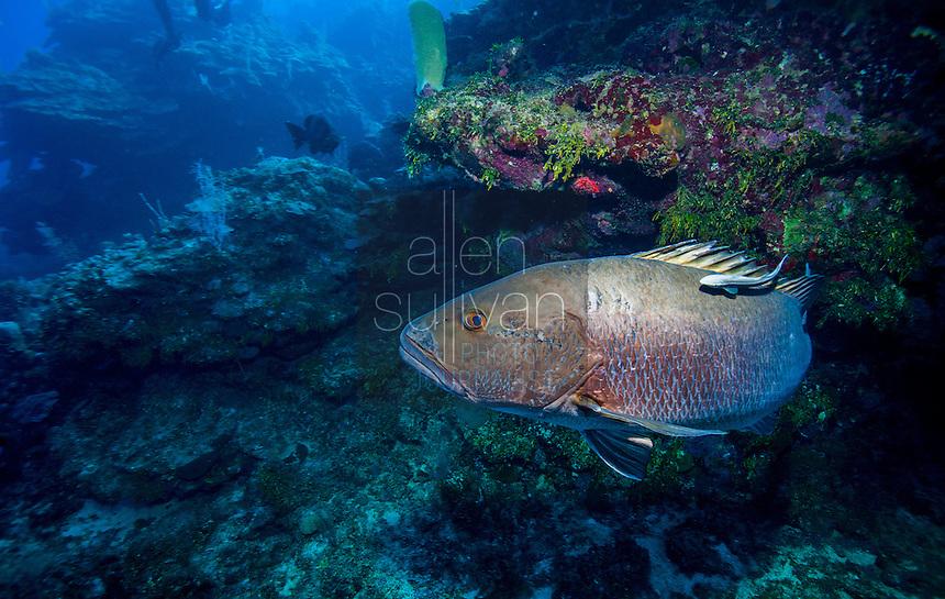Cubera snapper (Lutjanus cyanopterus) on reef; West End, Roatan, Honduras.
