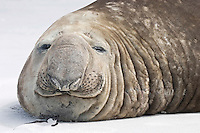 Southern Elephant Seal - Mirounga leonina - bull. Length 2-3m, weight 400-850kg Massive seal. Male is up to four times larger than female, with distinctive proboscis. Breeds on Sub-Antarctic islands, notably South Georgia.