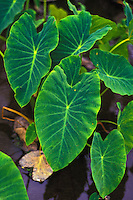 Close up of taro leaves